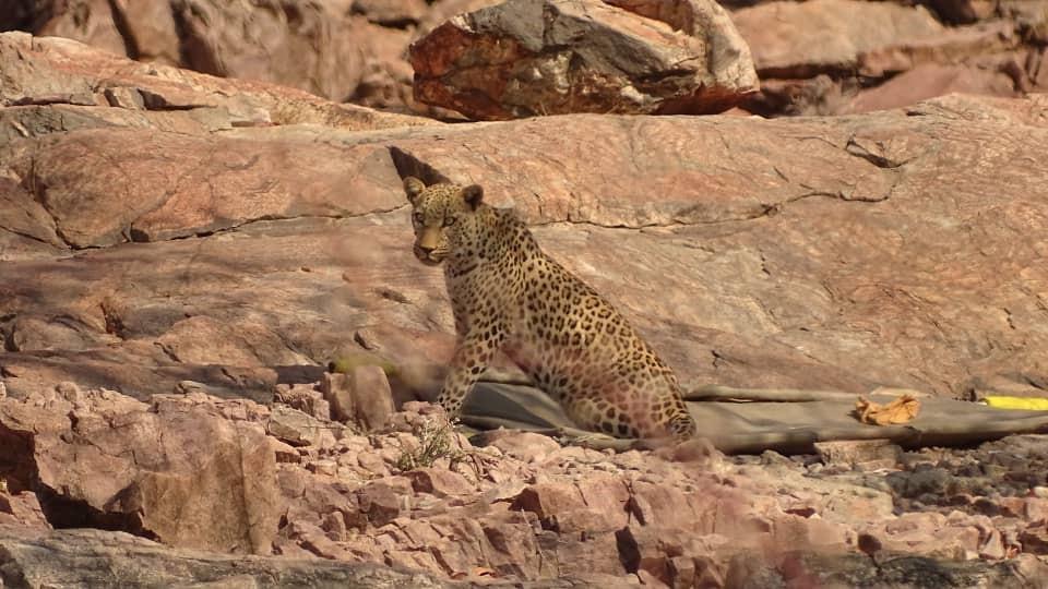 Damaraland Leopards