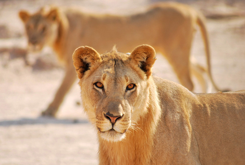 Desert Lion Conservation operational costs